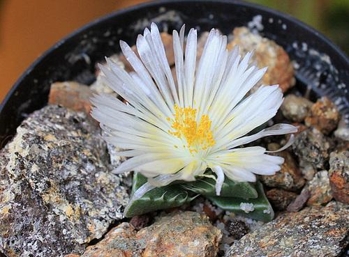 Faucaria felina 'Candida' 11665568.2531e390.500