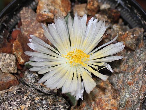 Faucaria felina 'Candida' 11665570.7139bb28.500