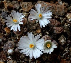 Candeur- Lithops karasmontana ssp bella (2)