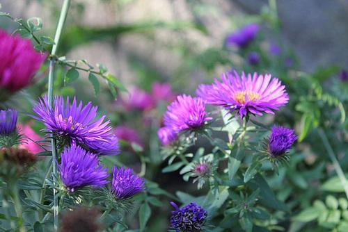 Aster novae-angliae Purple Dôme et Marie Ballard