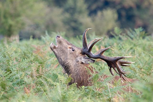 Bushy Park Deer