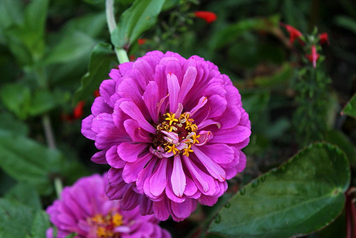 Zinnia rose