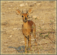 Petit steenbok mâle africain