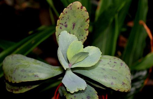 Kalanchoe marmorata (2)