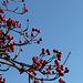 Alisier en fruits (7)