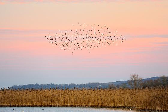 Vol de canards au-dessus de la roselière...
