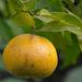 Orange-mandarine