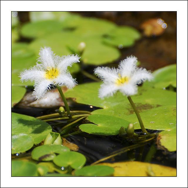 Fleurs d'eaux...