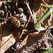 20111015 6639RAw [D-PB] Wespe
