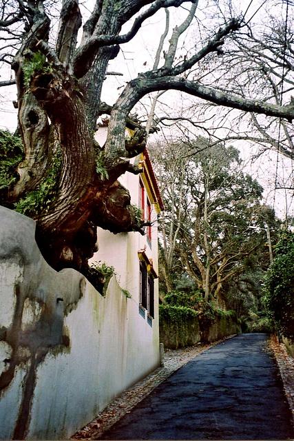 Le vieux tronc très tourmenté fait des bosses et des renflements et le mur le respect !