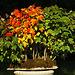 L'automne arrive même chez les bonsais