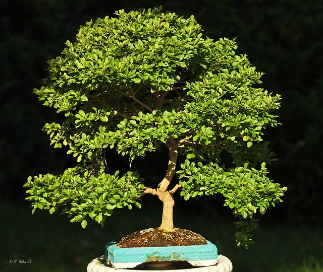 Un petit arbre d'Amérique du sud