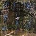 20111015 6581RAw [D-PB] Stockente, Delbrück