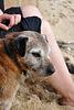 Strand-Hund - Cornwall 110907
