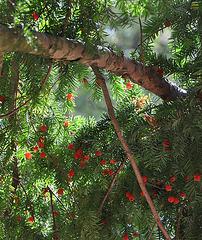 Taxus baccata, ou if