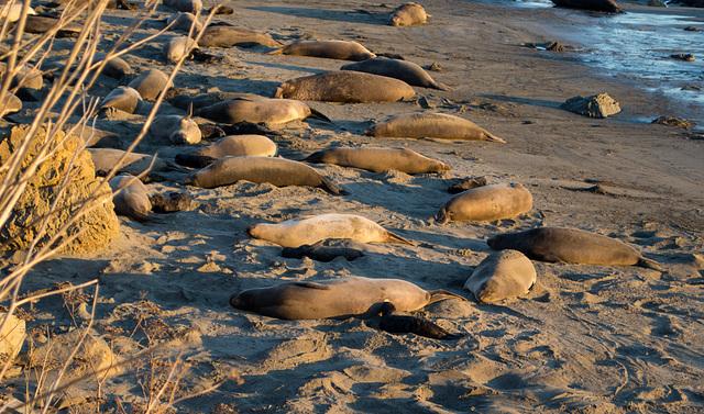 CA-1 Piedras Blancas Elephant Seals (1150)