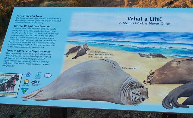 CA-1 Piedras Blancas Elephant Seals (1152)