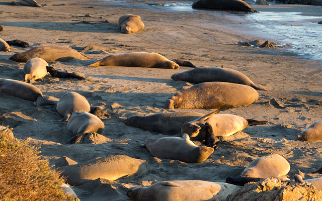 CA-1 Piedras Blancas Elephant Seals (1153)