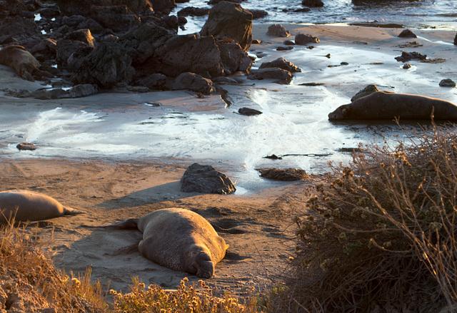 CA-1 Piedras Blancas Elephant Seals (1159)