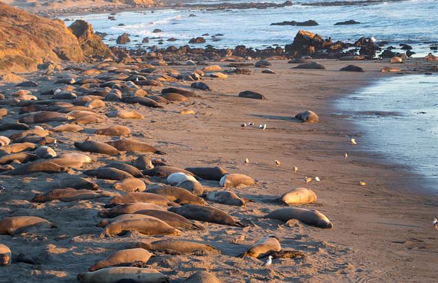 CA-1 Piedras Blancas Elephant Seals (1160)