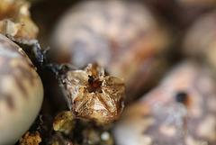Capsules de Lithops-karasmontana bella (2)