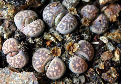 Capsules de Lithops-karasmontana ssp bella
