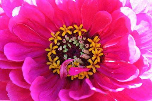 Coeur de zinnia- Capitule de fleurs