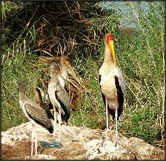 Tantale ibis et ses petits