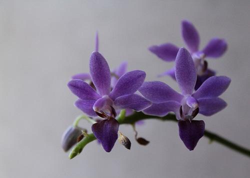 Doritaenopsis x pulcherrima caerulea