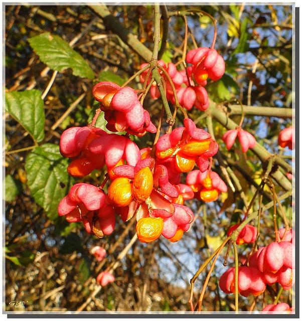 Euonymus europaeus : fleurs de fusain !