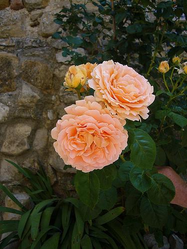 Roses de Mirmande