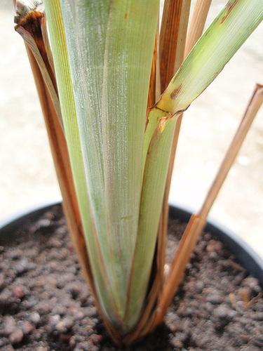 cymbopogon citratusP9183388
