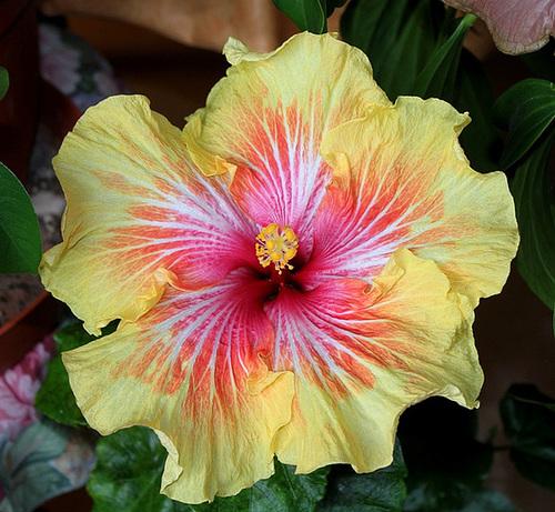 Hibiscus : conseils de culture et floraisons 11408473.35fccd0c.500