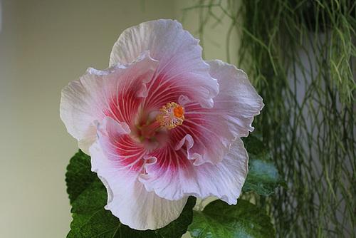 Hibiscus : conseils de culture et floraisons 11408477.2fc90b2b.500