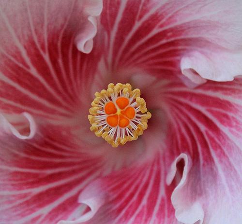 Hibiscus : conseils de culture et floraisons 11408483.55428459.500