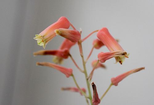 Aloe descoingsii x rauhii (probable) 11628531.9cd73527.500
