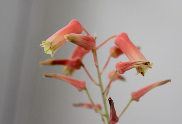 Aloe X (Aloe descoingsii x rauhii probable)