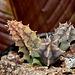 Huernia zebrina ssp magniflora