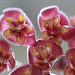 Hoya tsangii (7)