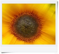 the eye of the sun(flower)