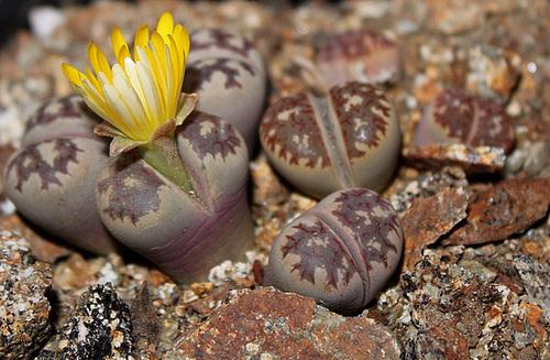 Lithops dorothea 11528909.e971d7c4.500