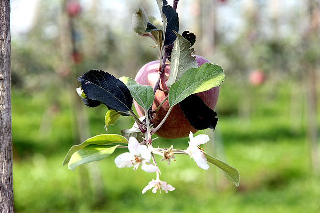 Apfel + Blüte = die Natur spielt verrückt