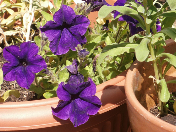 The purple is so deep a colour of the petunias