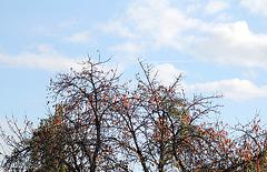 Cerisier en automne