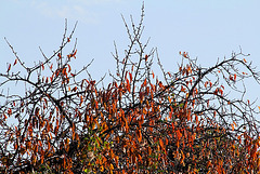 Cerisier en automne- Pendeloques