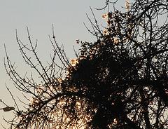 lumière du matin dans un cerisier (5)