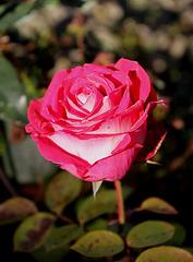 rose givrée - la der (2)