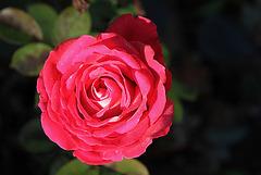 rose givrée - la der (3)