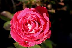 rose givrée - la der (5)
