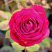 rose givrée - la der (6)